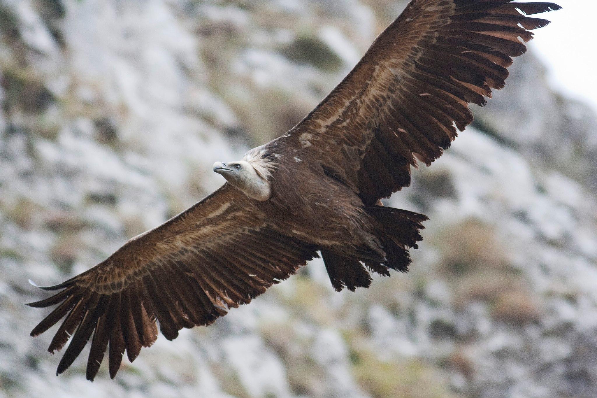 Águilas y Buitres