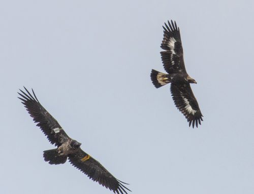 Raptors in the Picos de Europa