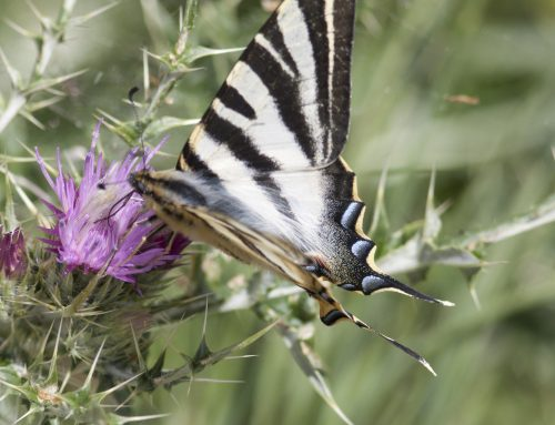 Birds and Butterflies in Picos de Europa National park