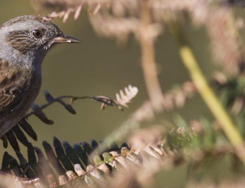 Rutas Ornitológicas de Verano en Llanes (Julio)