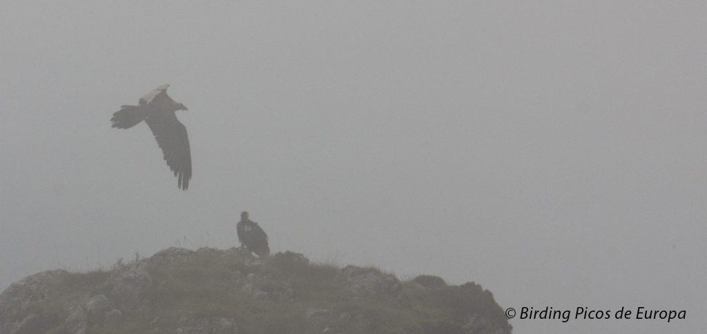 Quebrantahuesos en Picos de Europa