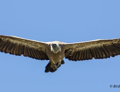 Paseos Ornitológicos Semana Santa 2018. Oriente de Asturias