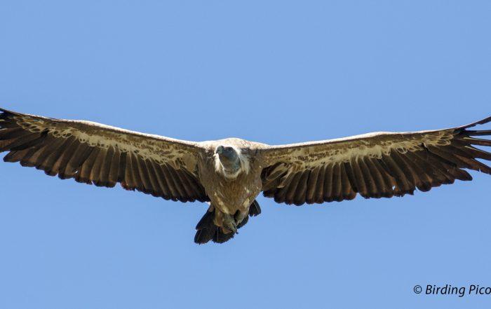 Grifon Vulture