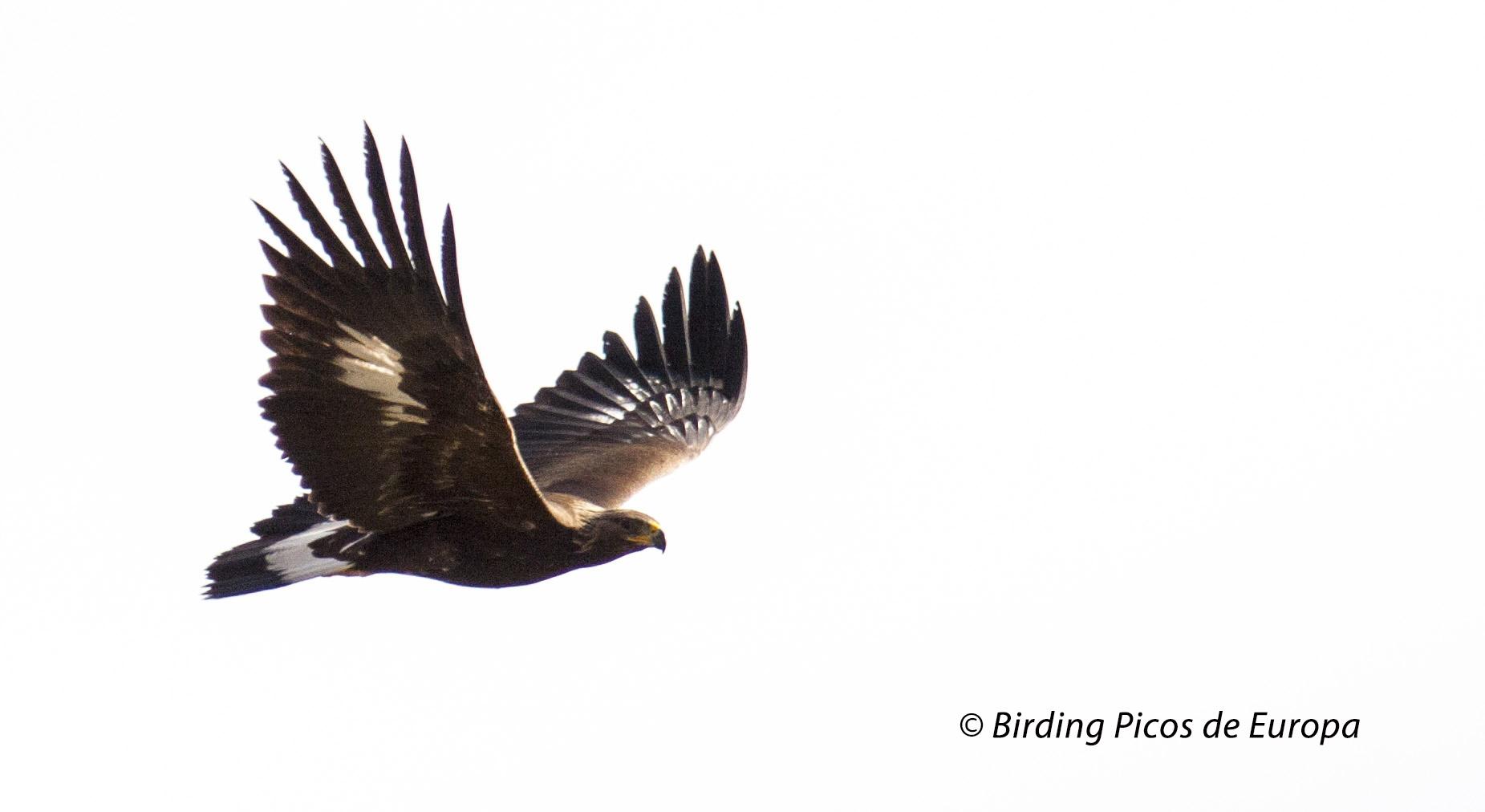 Golden Eagles in the Picos de Europa National Park