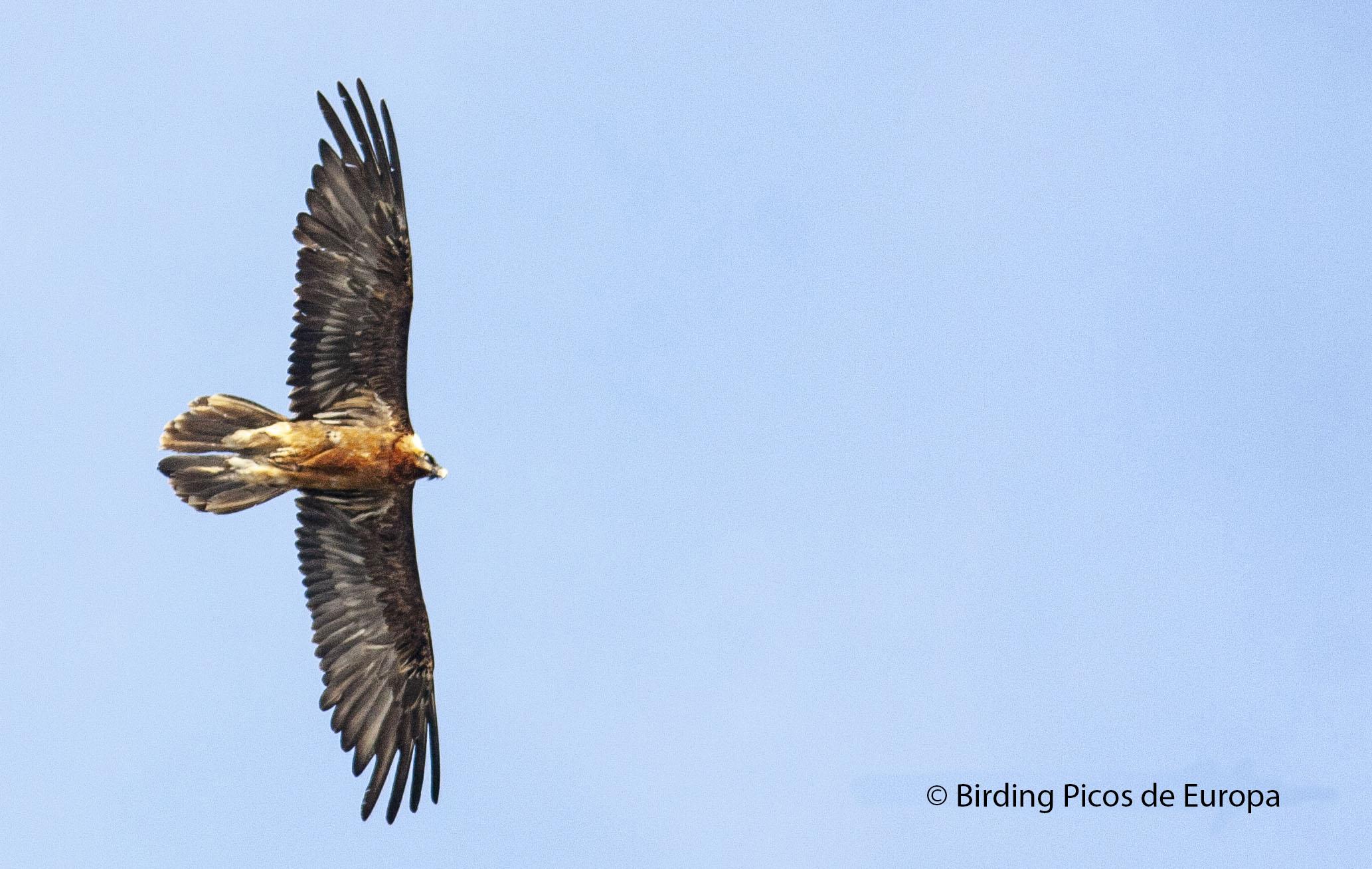 Vacaciones Ornitológicas en los Picos de Europa