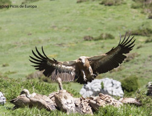 Raptors, butterflies and wildlife in the Picos de Europa National Park