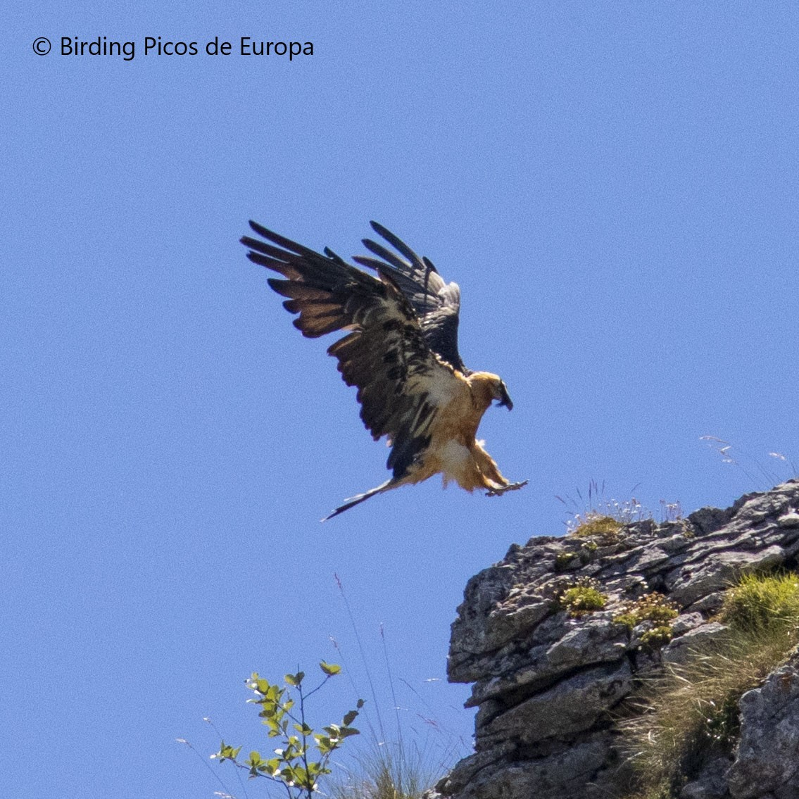 The Bearded Vulture