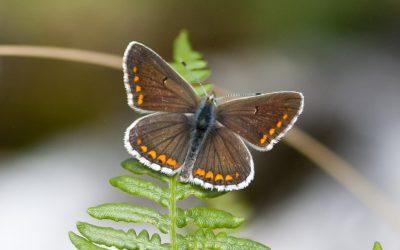 Mariposas de Picos de Europa